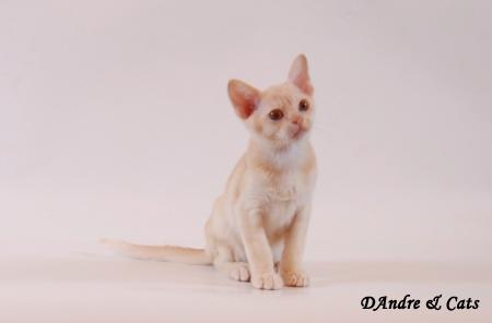 В питомнике родились бурманские котята !!!